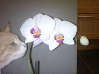 är orkideer giftiga för katter