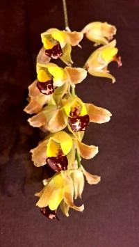 tyskland porr orkide thai