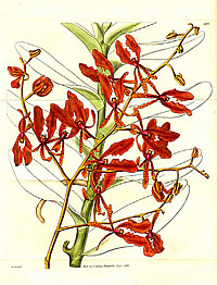 Renanthera coccinea